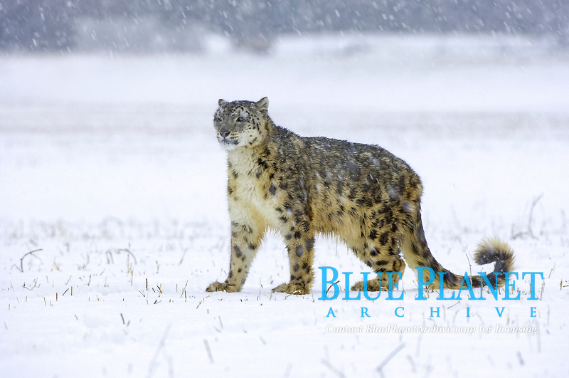 Snow Leopard (Panthera uncia), adult, standing on snow, snowing