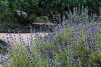 Salvia brandegeei 'Pacific Blue' (Santa Rosa Island Sage) flowering California native perennial cultivar