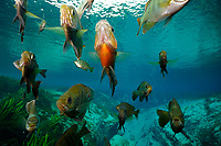 Bluegill, Lepomis macrochirus, and Redbreast sunfish, Lepomis auritus, Alexander springs, Florida