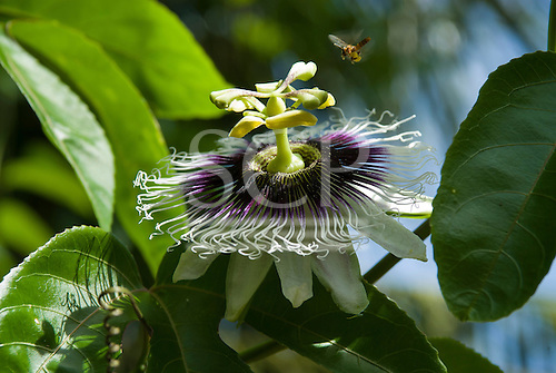 Xingu Indigenous Park, Mato Grosso State, Brazil. Posto Diauarum. Passion flower (passiflora sp.) with a honey bee in flight.