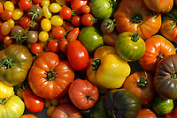 GERMANY, cultivation old and different tomato varieties, tomato diversity / DEUTSCHLAND, Anbau von verschiedenen traditionellen Tomatensorten