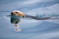 USA, Alaska, Glacier Bay National Park, Northern sea otter (Enhydra lutris kenyoni)