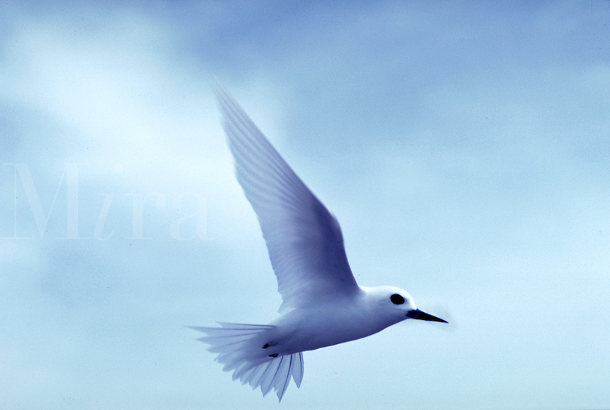 Tern, Tahitian Islands