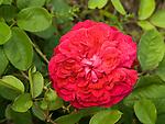 William Shapespeare Rose, Rosa hybrid by David Austin, Modern Shrub