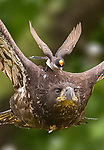 David and Goliath: Small bird rides on eagle by Guilong Charles Cheng