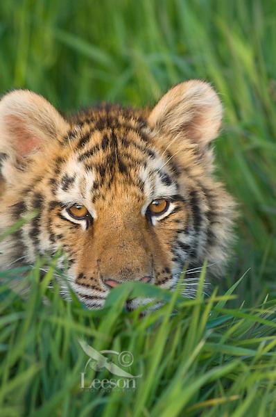 Siberian Tiger cub at about 4 1/2 months (Panthera tigris altaica).