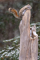 American Red Squirrel (Tamiasciurus hudsonicus) exploring the top of a tree stump.  Agile climbers and extremely quick, these little guys provided much amusement.
