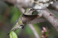 February 23 2010.  San Diego, California, USA:  A humming bird hovers over freshly blossomed flowers in a backyard in Pacific Beach.  While much of the rest of the US struggled through blizzard conditions, early signs of spring were visible in Southern California.
