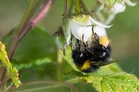 Wiesenhummel, Wiesen-Hummel, Hummel, Weibchen, Blütenbesuch an Himbeere, Pollenhöschen, Bombus pratorum, Pyrobombus pratorum, early bumble bee, early bumblebee, early-nesting bumblebee, female, le bourdon des prés