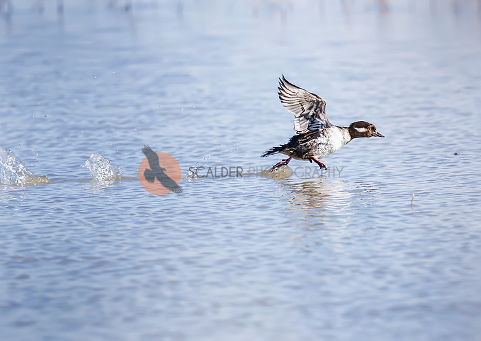 Female bufflehead taking off in flight from water surface with feet splashing on the water