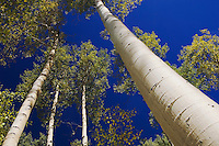 Aspen trees in fallcolor, Uncompahgre National Forest, Rocky Mountains, Colorado, USA, September 2006