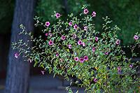 Anisodontea x hypomandarum, Cape Mallow pink flowering shrub, Marin Art and Garden Center