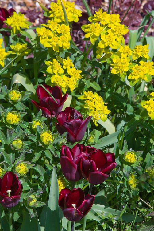 Euphorbia polychroma, Tulipa (blood red spring flowering bulbs Tulips)