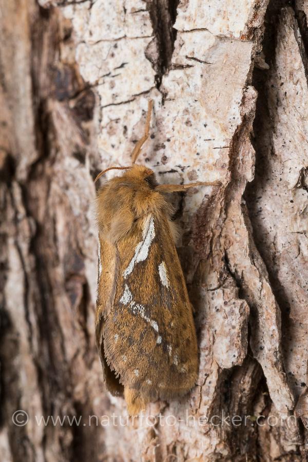 Kleiner Hopfen-Wurzelbohrer, Kleiner Hopfenwurzelbohrer, Hopfen-Wurzelbohrer, Wurzelbohrer, Korscheltellus lupulina, Pharmacis lupulina, Hepialus lupulinus, common swift, swift, Lupulina Ghost Moth, swift moth, ghost moth, la Louvette, la petite hépiale du houblon, Hepialidae, Wurzelbohrer, swift moths, ghost moths
