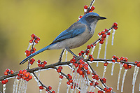 Western Scrub-Jay (Aphelocoma californica), adult perched on icy branch of Possum Haw Holly (Ilex decidua) with berries, Hill Country, Texas, USA