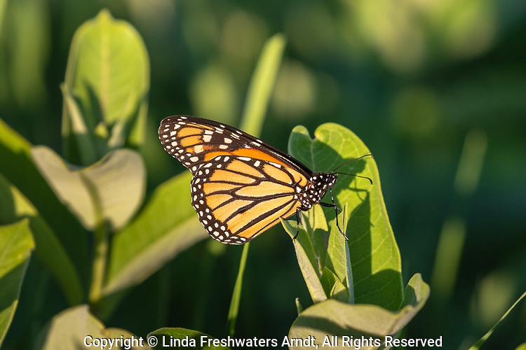 A monarch butterfly perched on common milkweed in a Wisconsin meadow.