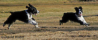 0730-0827  English Springer Spaniels Chasing Each Other, Canis lupus familiaris © David Kuhn/Dwight Kuhn Photography.