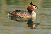 Great-crested Grebe (Podiceps cristatus), adult swimming, Switzerland, Europe