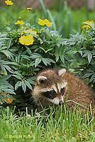 MA22-023x  Raccoon - young animal exploring in garden - Procyon lotor