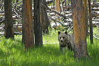 Only the second grizzly bear I had ever seen. This youngster was wandering along the Firehole River.