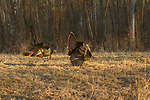 Eastern wild Turkeys