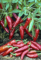 HS41-200x  Pepper - hot pepper, ornamental  Super Chile variety