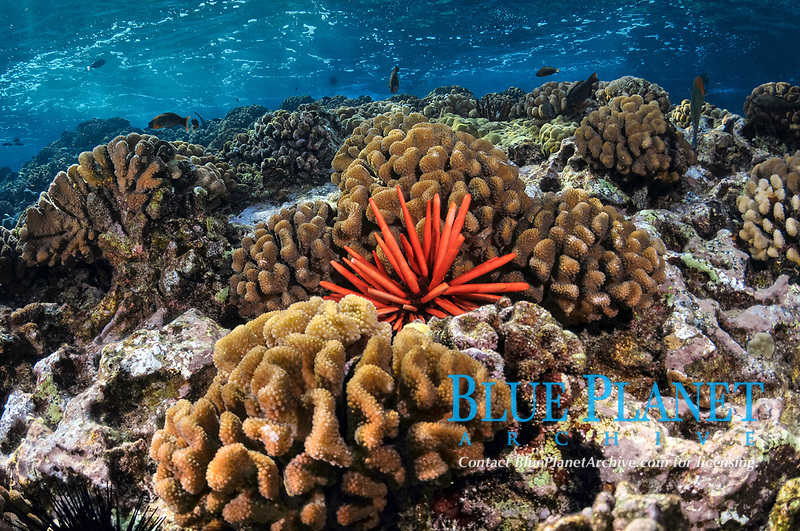 coral reef with a red slate pencil urchin, Heterocentrotus mamillatus, among cauliflower coral, Pocillopora meandrina, Molokini, Maui, Hawaii, USA, Pacific Ocean
