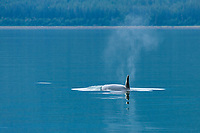 An Orca family swimming through the calm and reflective waters of Young Bay, Alaska.