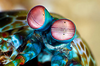 peacock mantis shrimp, Odontodactylus scyllarus, eyes, Dauin, Philippines, Pacific Ocean