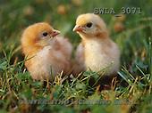 Carl, ANIMALS, wildlife, photos, 2 chicken(SWLA3071,#A#)