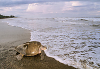 "Olive Ridley Turtle ( Lepidochelys olivacea ) returning to sea after laying eggs during Arribada ""Arrival"", Ostional - Costa Rica, Pacific Ocean"
