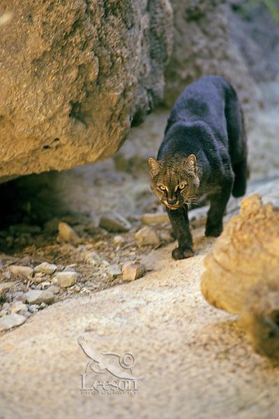 Jaguarundi (Puma yagouaroundi).  Found from southern Texas to South America.  (CA).