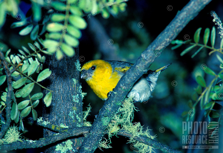 Endangered palila in mamane tree, (loxioides bailleui). These birds are found on the Hawaiian island only.