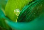 Jeweled Chameleon, Madagascar