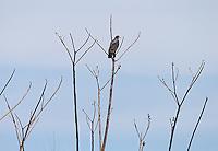 A common black hawk finds a nice perch.