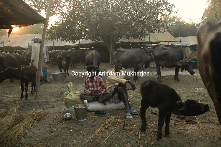 A owner with his buffaloes at Sonepur fair ground. Bihar, India, Arindam Mukherjee
