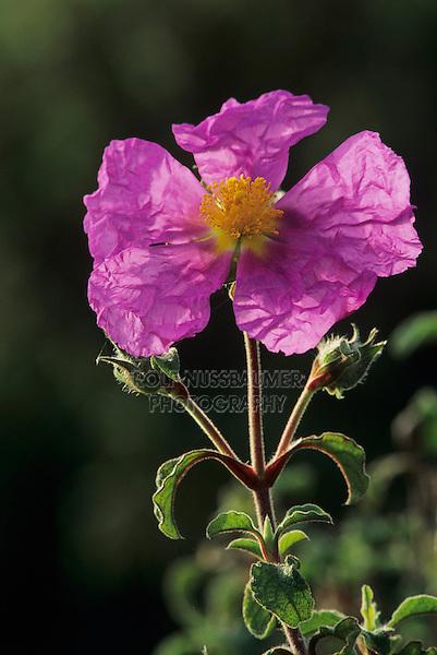 Pink Rockrose, Cistus incanus, blossom, Samos, Greek Island, Greece, Europe