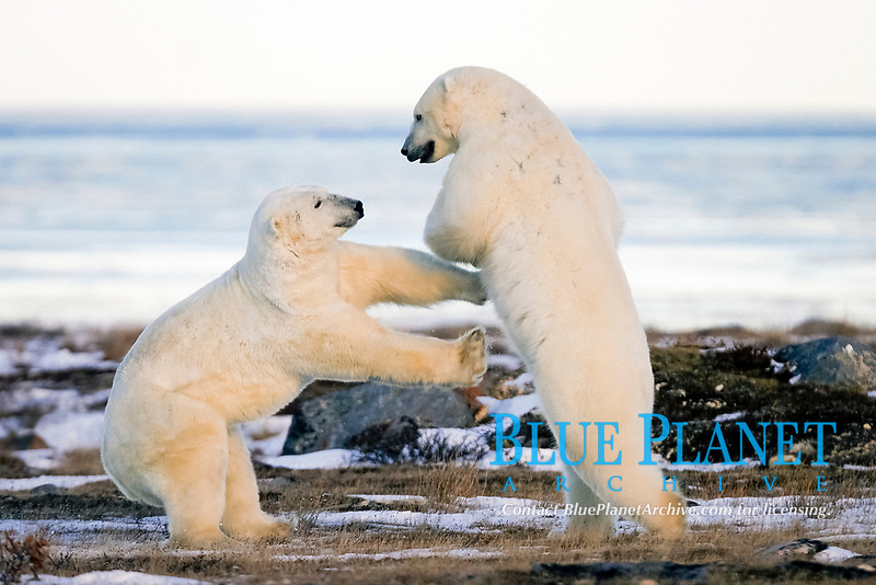 Adult male Polar Bears, Ursus maritimus, in ritualistic fighting stance, injuries are rare, near Churchill, Manitoba, Canada., polar bear, Ursus maritimus