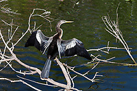 American Anhinga, also called Darter Bird or Snakebird, Everglades National Park, Florida, FL, America, USA.