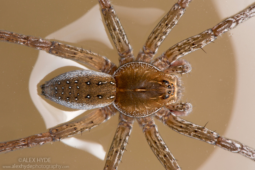 Raft Spider (Dolomedes sp.) resting on surface of pool. Danube Delta, Romania. May.