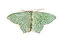 Common Emerald moth {Hemithea aestivaria} photographed on a white background. Pembrokeshire, UK. July.