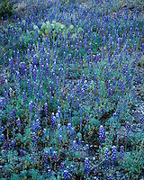 A field of Big Bend Bluebonnets (Lupinus havardii) near Castolon; Big Bend National Park, TX
