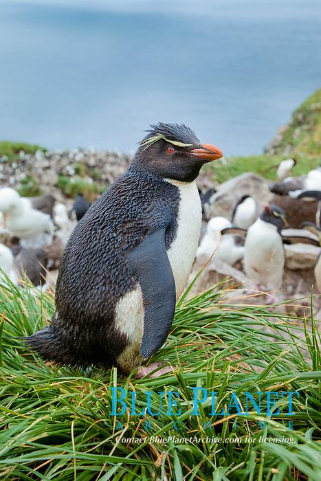 Western rockhopper penguin, standing atop tussock grass near a rookery of black-browed albatross.