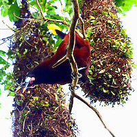 Montezuma oropendola displaying at nesting colony. It appears that oropendola males build the huge bag-like nests, as seen in the background, in colonies and then display to attract females. This bird and others twirled around their perches while calling loudly, quite a show.