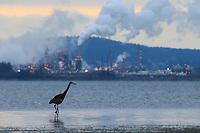 A Great Blue Heron (Ardea herodias) hunts the shallows of a tidal esturary nesr an oil refinery. Padilla Bay, Washington. February.