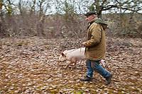 Europe/Europe/France/Midi-Pyrénées/46/Lot/Env de Lalbenque: Cavage  avec le cochon, (Recherche) des truffes sur le causse .  avec Mr Oulié, Trufficulteur