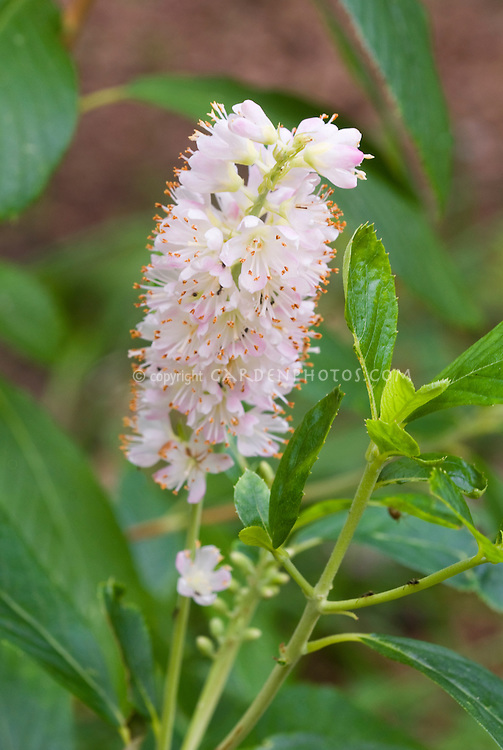 Summersweet Bush Clethra alnifolia Ruby Spice flowers