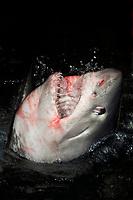 Porbeagle Shark Lamna nasus, Bay of Fundy, Canada.