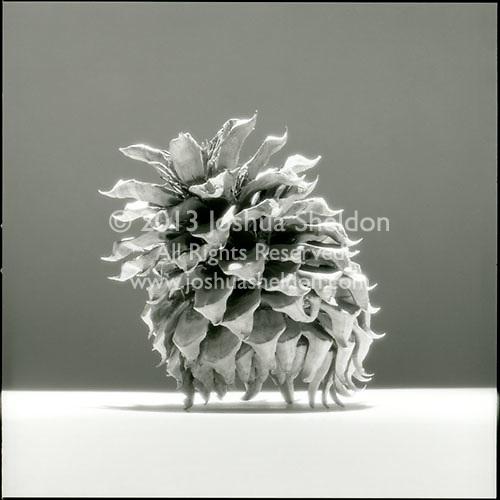 Northern California pinecone<br />