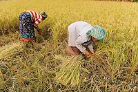 Bangladesh, Region Madhupur, Garo women harvest rice / BANGLADESCH Madhupur, Garo Frauen ernten Reis